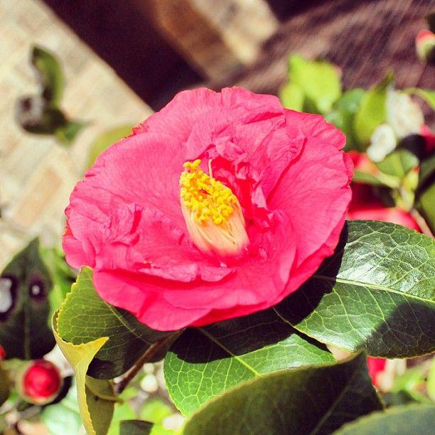 Camellias are in bloom in the Atlanta History Center's gardens.