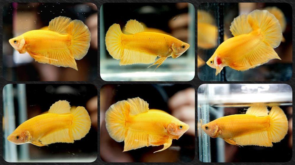 Live Betta Fish Solid Butterscotch Yellow Hmpk Halfmoon Plakat
