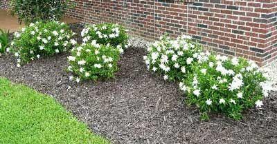 Frost Proof Gardenia Gardenia Shrub Plants Gardenia Plant