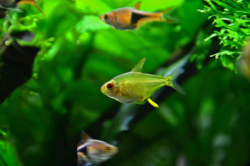Lemon Tetra Tetra Fish Pet Aquarium Fish