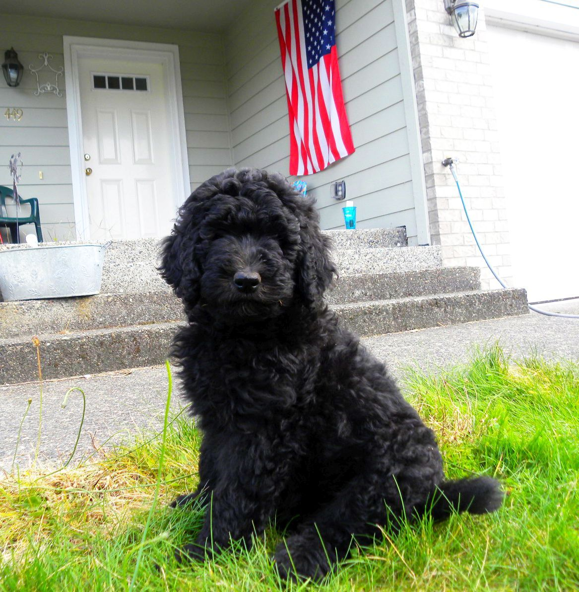 Black F1b Goldendoodle From Dreamydoodles Com Out In The Front