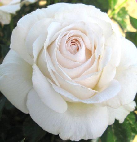 Rosa 'Elvis'