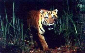 sunderban tiger project | ... Tiger conservation, conservation tiger, white bengal tigers, Royal