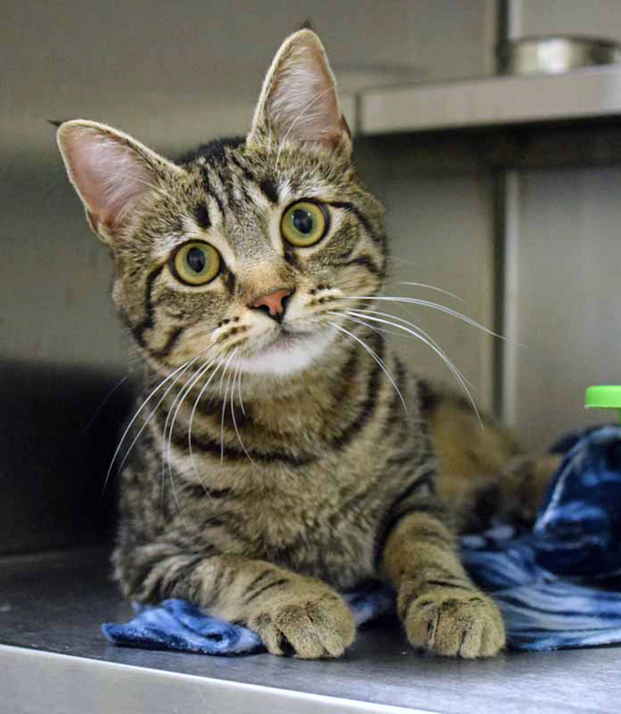 Everett Animal Shelter Has A Dog And Five Cats To Adopt Heraldnet Com Tabby Cat Cute Animals Cats And Kittens