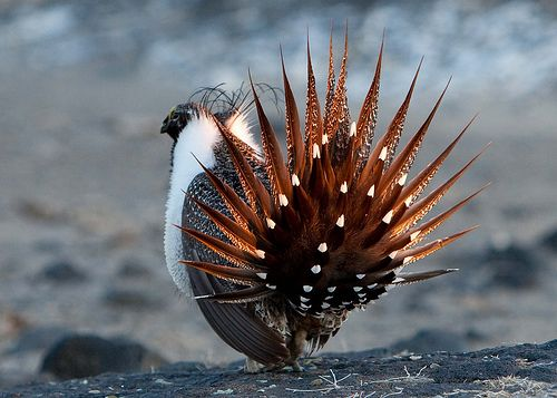 Sage Grouse dance | Sectioned Birds: Sorted by species