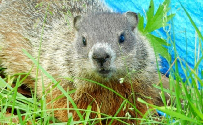 15 Fascinating Facts About Groundhogs Animals Groundhog Pets