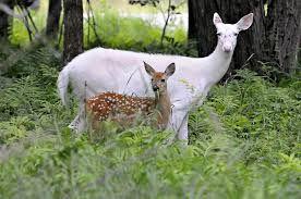 albino deer with calf