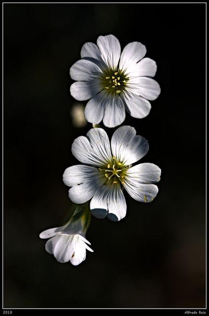 Flores - Alfredo