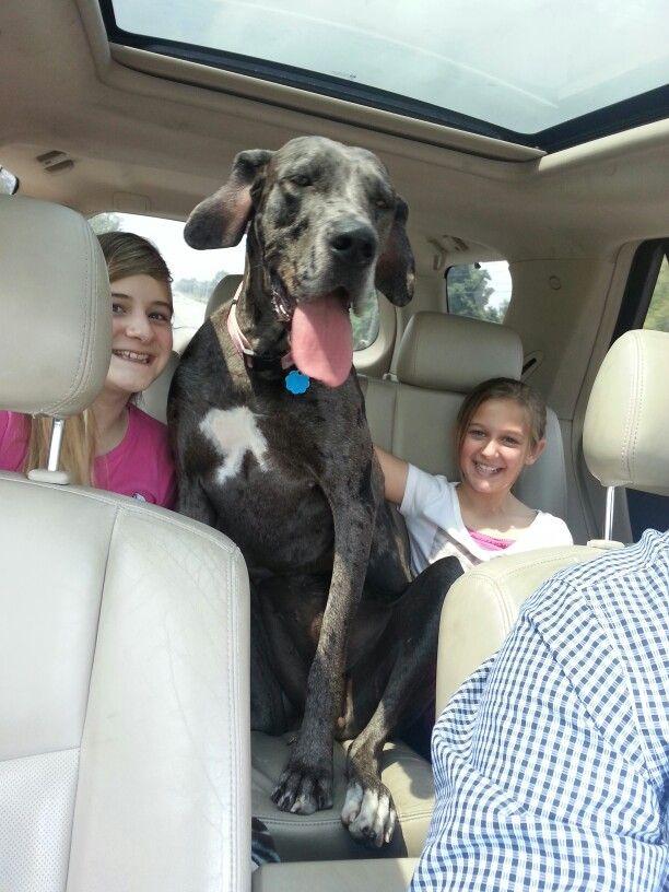 Great Dane True Family Dog Great Dane Dogs Dane Dog Big