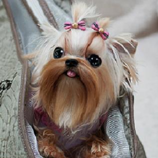 Betty S Teacup Yorkies Google Search Yorkie Puppy Yorkie Yorkie Moms