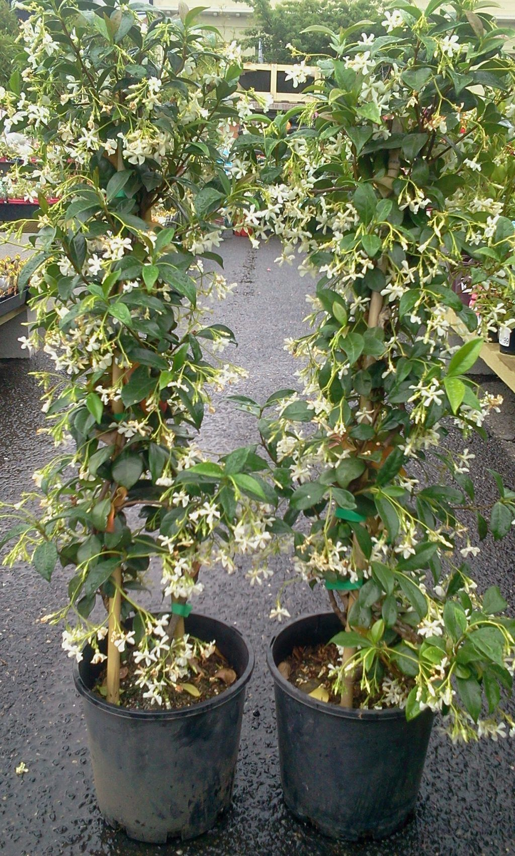 Jasmine herbs garden herbal tea plants outdoor furniture herbal tea is the name for herb which derived from flowers and also dried fruit then seeds or even leaves as well as roots were dhlflorist Gallery
