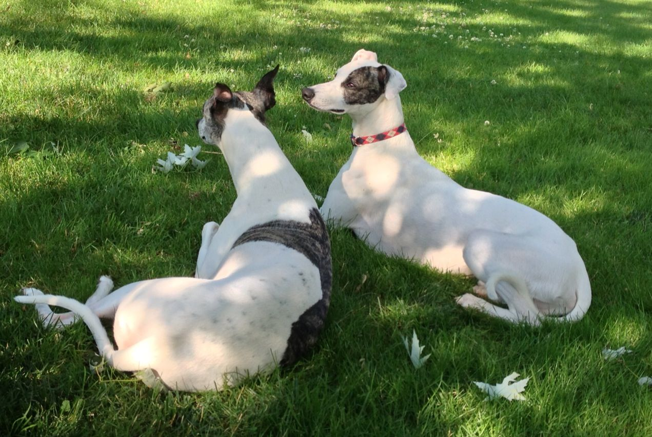 Two beautiful Whippets enjoying the sunshine.