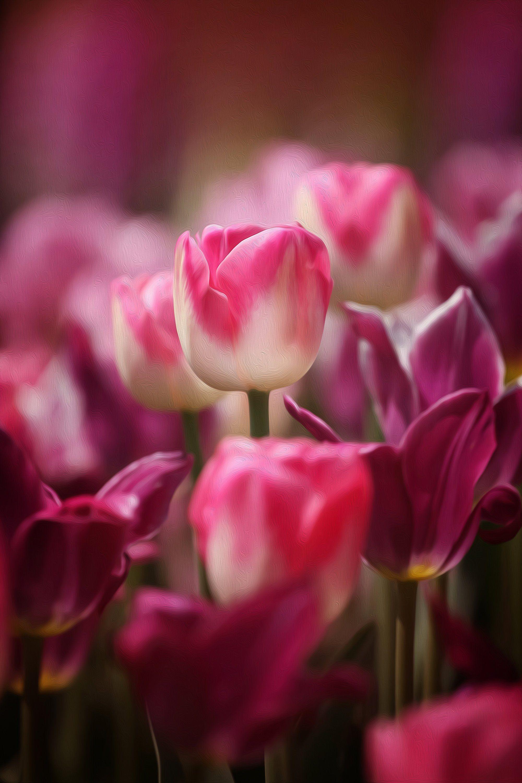 Fuchsia Tulip Art Pink Wall Art Pink Tulip Flower Photography Pink Fine Art Print Fuchsia Tulip Picture Bright Pink Tulips Art Flowers Photography Flowers