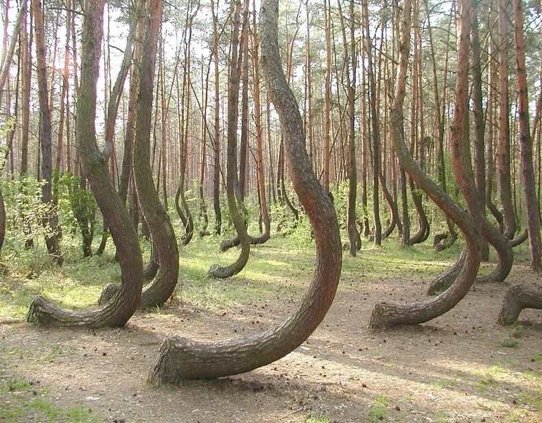 The eerie, spooky crooked forest in Poland: the forest consists of 400 pine trees that grow with a 90-degree bend at their base, and which are bent northward. The trees are thought to have been planted in the 1930s yet no one knows why they look so bizarre. Lots of theories have been put forward, none proved convincing enough so far.
