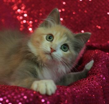 Ragdoll Kittens For Sale From Chocolottadolls Cat Breeder Ragdoll Kitten Kitten For Sale