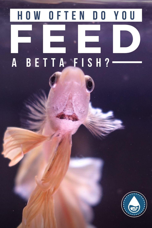 How Often Do You Feed A Betta Fish Betta Fish Betta Fish