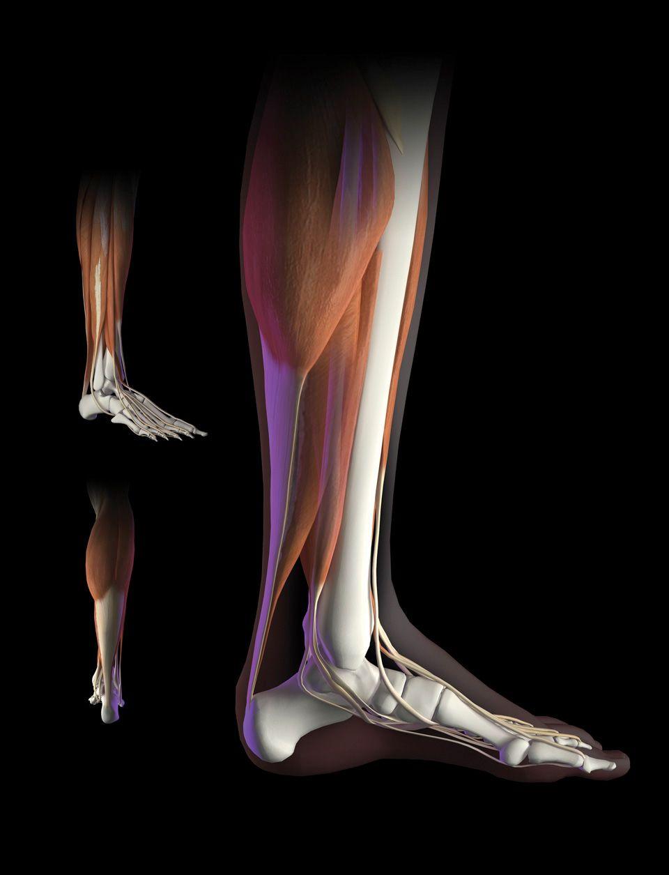 Bryan Christie, shin | Digital anatomie .... | Pinterest | Human ...