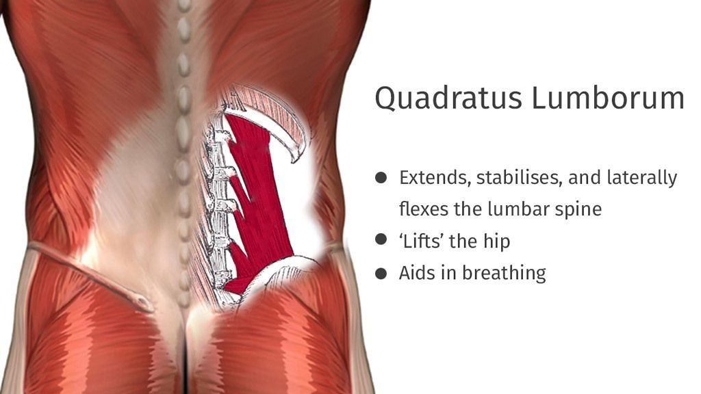 The QL muscles play an important role in supporting our movement and ...