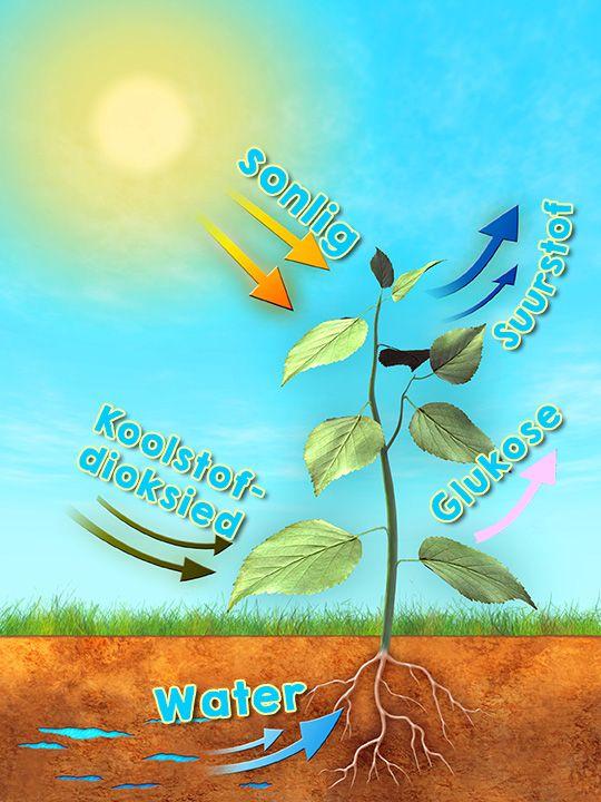 Fotosintese Hoezit Water Sonlig Koolstofdioksied Glukose