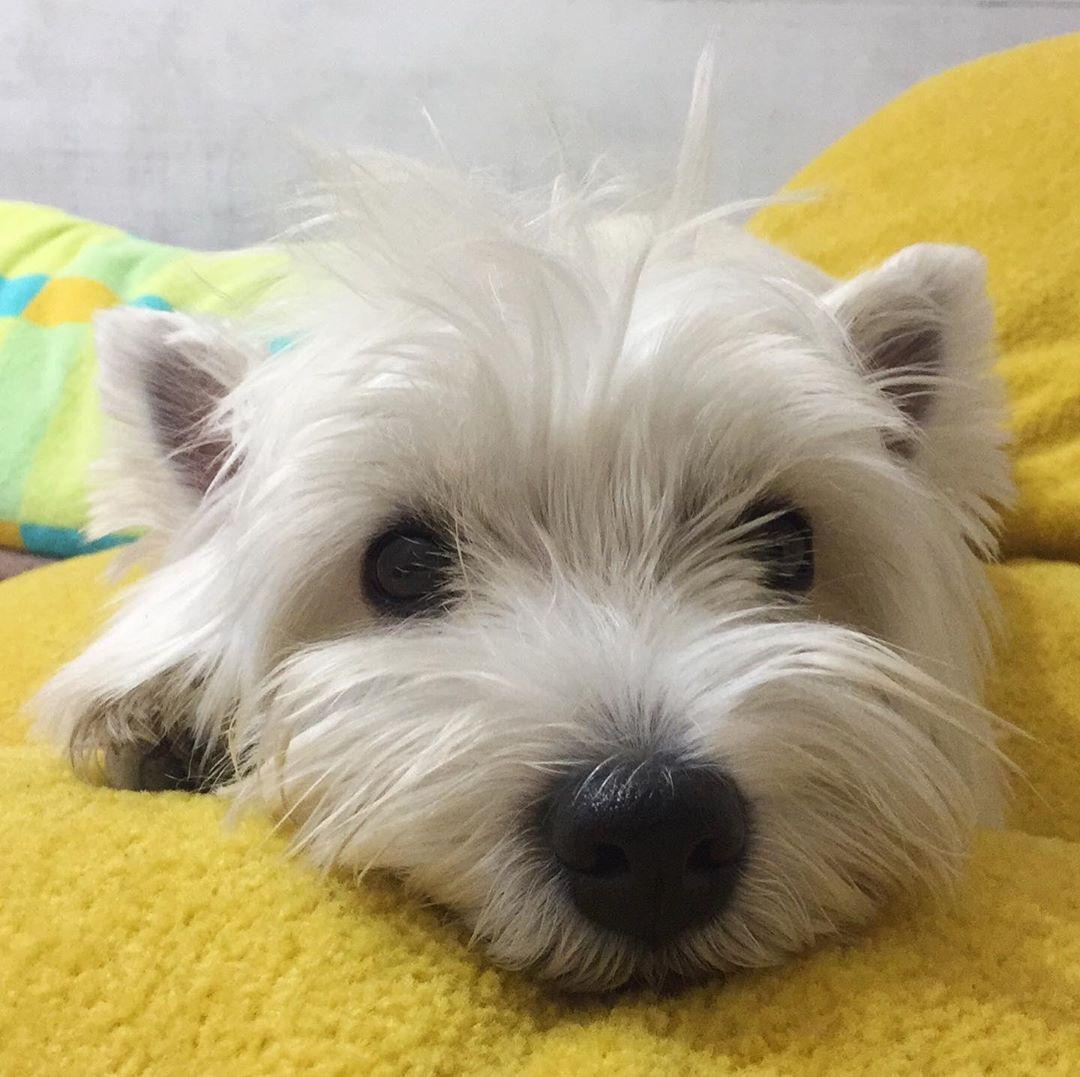 Keriはinstagramを利用しています Good Morning Westhighlandwhiteterrier Westie Westiemoments In 2020 Westie Dogs Westie Puppies Cute Dogs