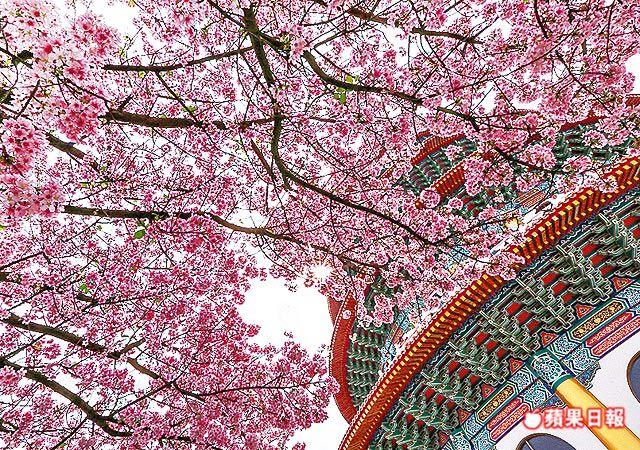 盛綻春櫻與充滿古韻的建築互相加持,美麗場景令人心情愉悅。