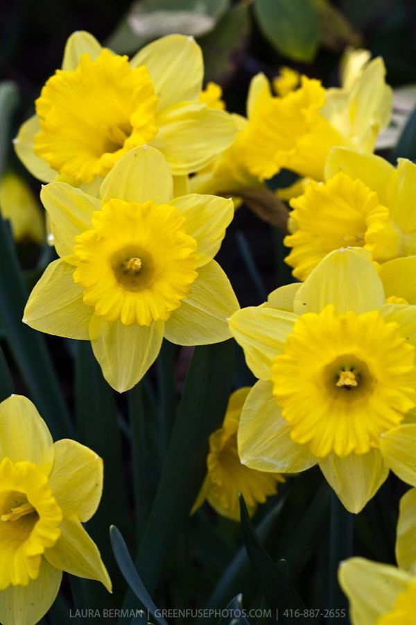 Daffodils A Sign Of Spring I Am In Need Of Some Signs Of Spring 20 Years Of Know How This Is The Only Flower That I Daffodils Daffodil Bulbs Flower Garden