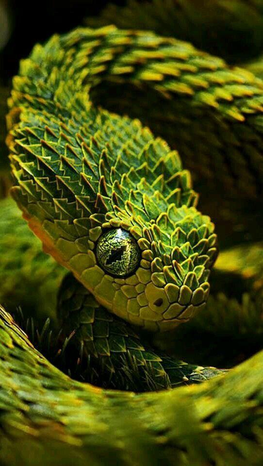 Atheris Bush Viper Beautiful Snakes Reptiles