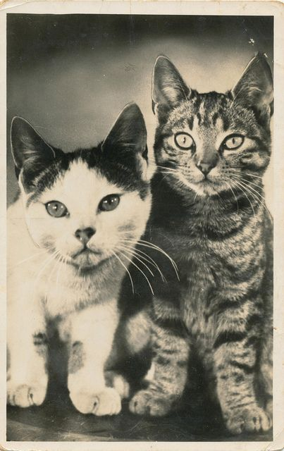 Cats in Photography: two curious cats (postcard from 1952)
