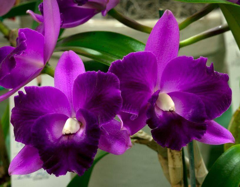 Cattleya Mini Song La Primera Morada Cattleya Mini Purple X Cattleya Mari S Song Beautiful Orchids Orchid Flower Cattleya Orchid