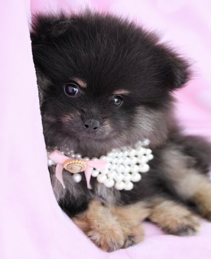 Pomeranian Puppies For Sale In Florida Pomeranian Puppy For Sale Pomeranian Puppy Pomeranian Puppy Teacup