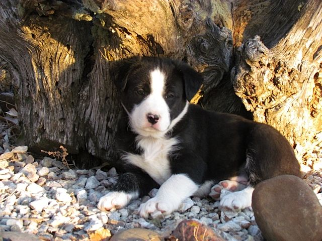 Chet Border Collie Hanging Tree X Pup Photo By Valerie Gatto I Love Dogs Border Collie Dogs