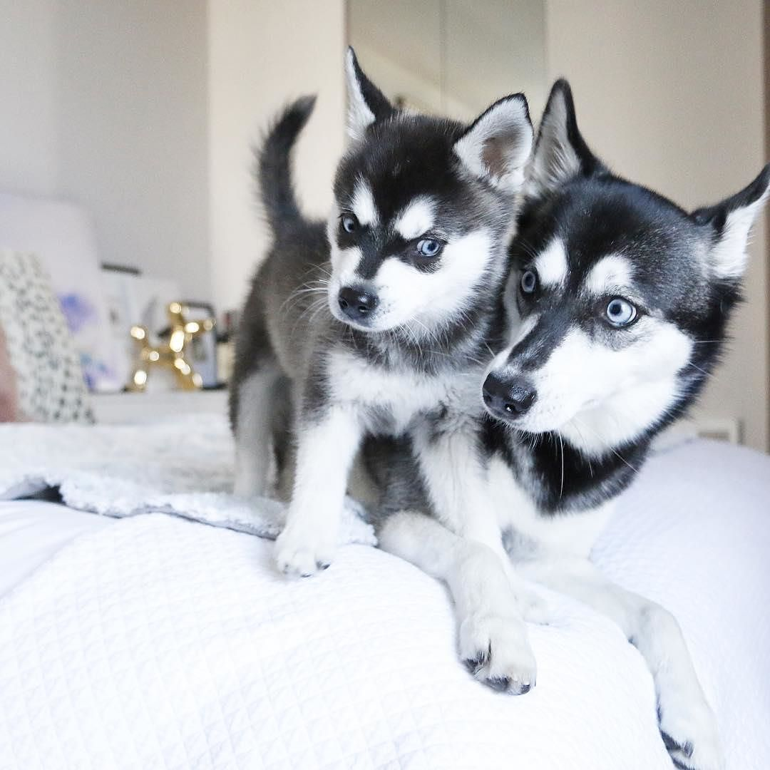 Who Doesn T Love Huskies Double Tap And Tag Your Friends Cute