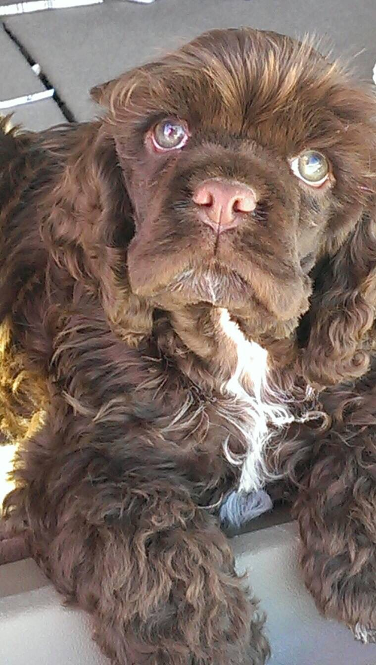 Cocker spaniel puppy dogs pinterest animales animales