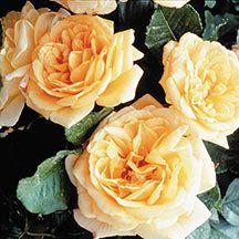 Garden Sun Climbing Rose | Climbing Roses | Edmundsu0027 Roses   Zone 5 Hardy!!!