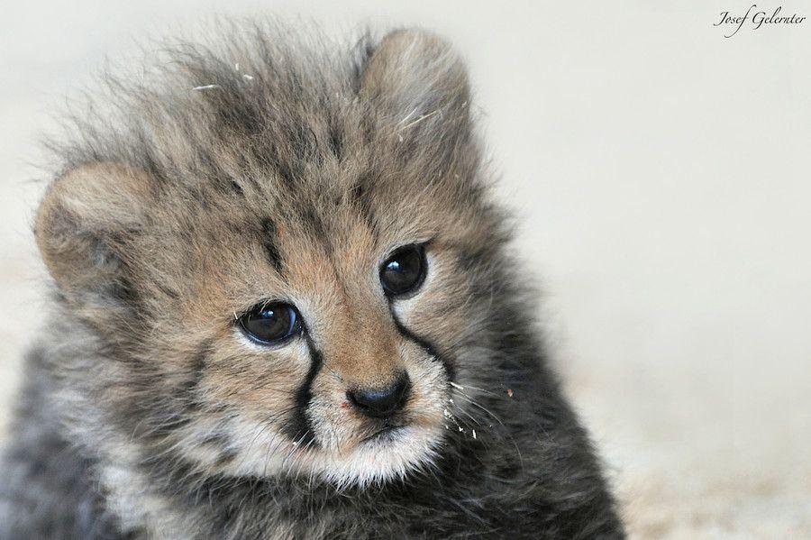 Cheetah Baby Portrait by Josef Gelernter on 500px