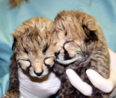 Gat and Lita, Cheetahs, Smithsonian National Zoological Park, Washington, D.C. - Cutest Baby Animals at U.S. Zoos | Travel + Leisure