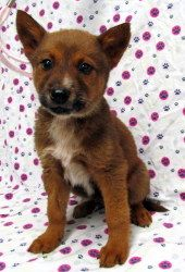 Adopt Nitro On Australian Cattle Dog Dogs Animals