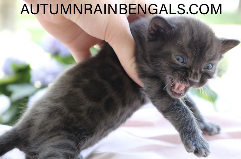 Bengal Kittens For Sale In Michigan In 2020 Bengal Kittens For Sale Bengal Kitten Bengal Cat