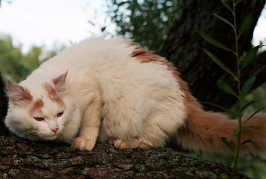 7 Facts About Turkish Van Cats Turkish van cats, Turkish