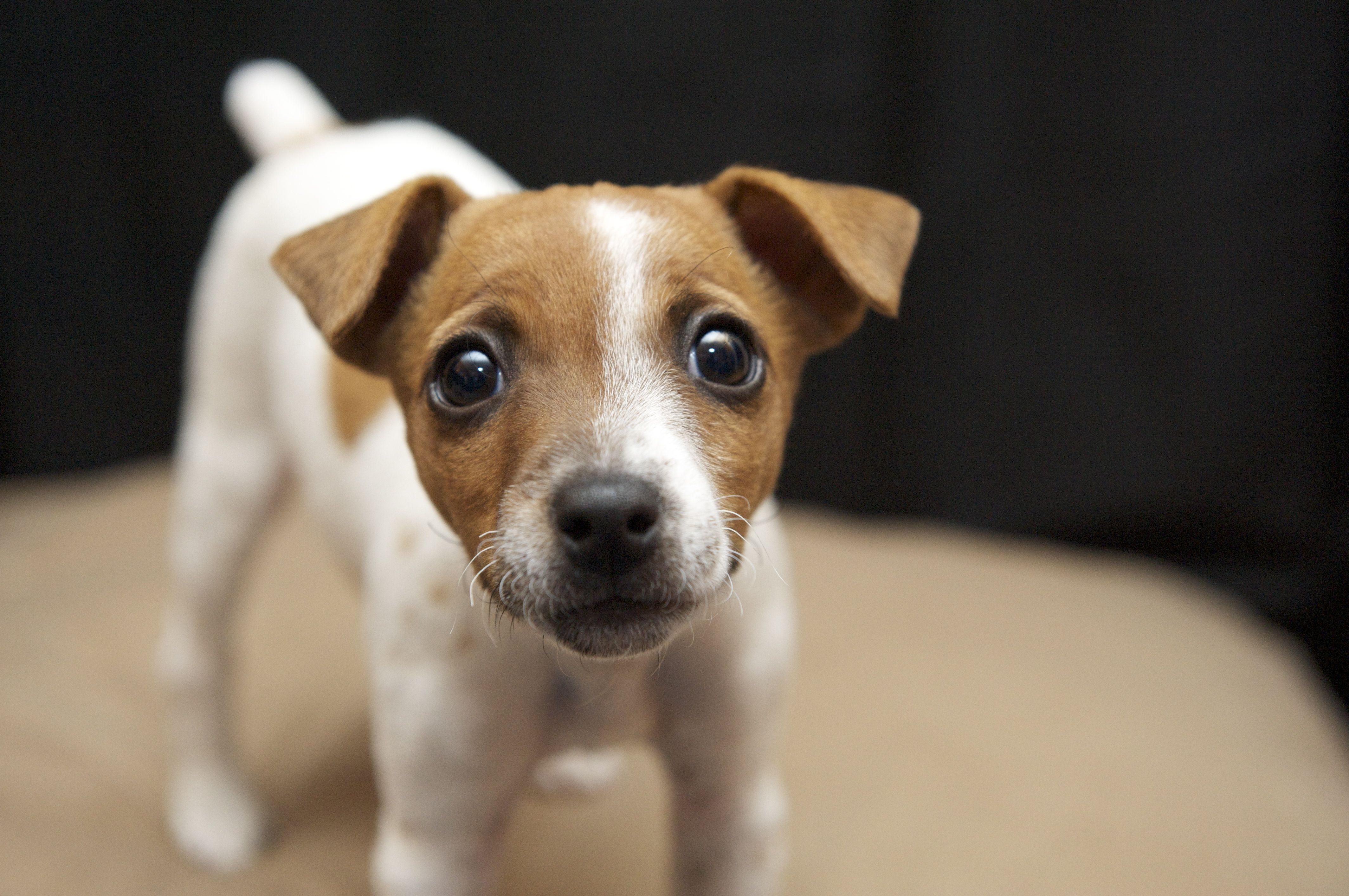Cutest Dog Ever Jack Russell Jack Russell Jack Russell Terrier Puppies And Kitties