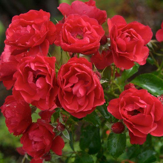 Flower Carpet Scarlet Ground Cover Roses Flowers Blooming Rose