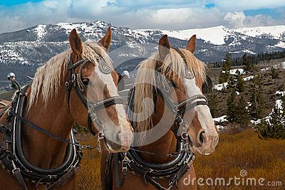 Team of Belgium draft horses in harness ready to be hitched to a wagon. Photo by GEvans is available for use at https://www.dreamstime.com/earning_det.php?imageid=95737352