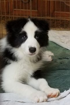 Border Collie Puppy For Sale In Duluth Ga Adn 37317 On