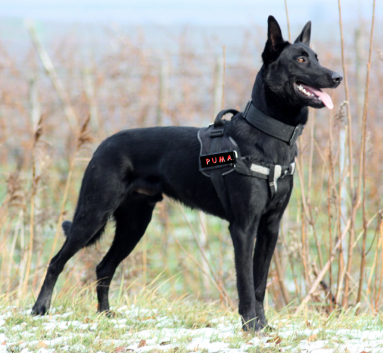 Simard K9 Black Malinois Belgian Malinois Dog Malinois Dog Military Working Dogs