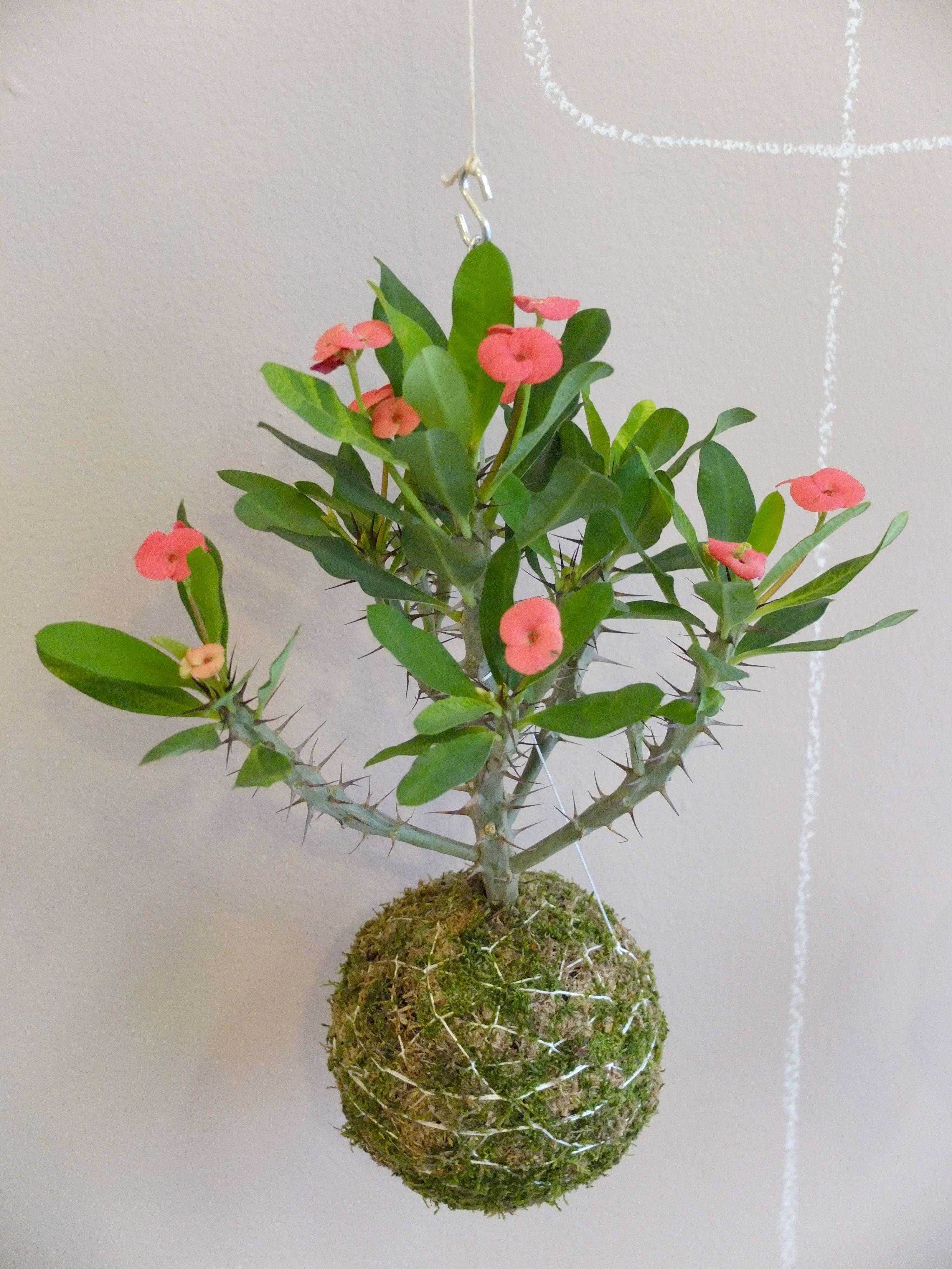 kokedama Euphorbia milii