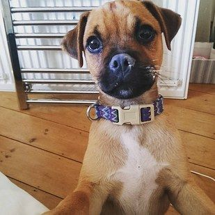 Jug Jack Russell Terrier Pug What Happens When You Cross A Pug With Other Dog Breeds Pug Terrier Mix Pugs American Pitbull Terrier