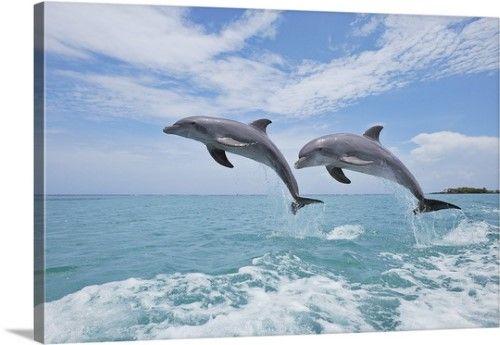 Solid Faced Canvas Print Wall Art Print Entitled Common Bottlenose Dolphins Jumping In Air Caribbean Sea Roatan Bay Islands Honduras イルカ
