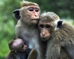 Resultado de imagem para macacos