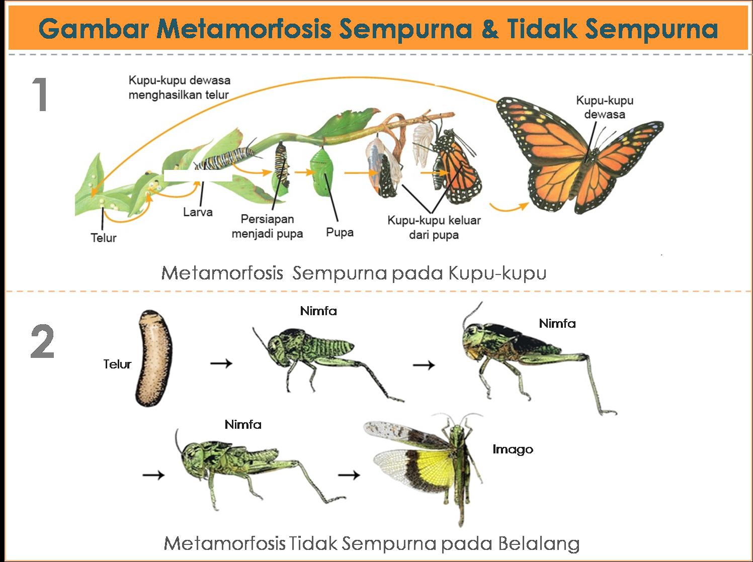 Gambar Metamorfosis Daur Hidup Pada Serangga Dan Amfibi Amfibi Serangga Gambar