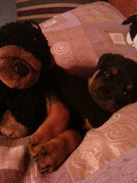 King Kong Klarinthe Ferocious Rottweiler Puppy From Hawaii